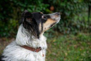 Collier pour chien en cuir